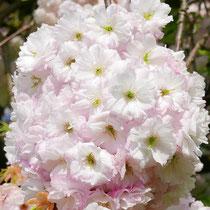 Blütenbüschel in Vollblüte, Foto HK.; Aufnahme-Datum: 21.04.2018