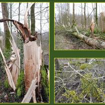 Windbruch an Kanadischer Pappel (Populus canadensis) auf Grund von Vorschädigung durch Misteln, Fund Rahmer Wald, Datum: 03.02.2018