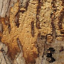 Schnittfläche auf kaukasischer Flügelnuss, Pterocaria fraxinifolia