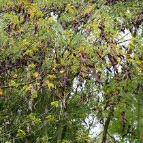 Astpartie mit reichlichem Fruchtbehang,Foto HK.; Aufnahme-Datum: 26.10.2017