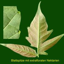 """Detail Blattränder mit """"Extrafloralen Nektarien"""" (Drüsen) Foto: HK., Aufnahme-Datum: 01.06.2018"""