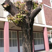Rückschnitt an Trompetenbäumen mit Neuaustrieb, Aufnahme-Datum: Juli 2005