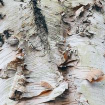 Äußeres Rindenbild einer Papier-Birke, Betula papyrifera