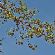 Triebstück mit Blattaustrieb, männlichen und weiblichen Blütenständen sowie alten Fruchtständen, Foto: H.; Aufnahme-Datum: 06.04.2014