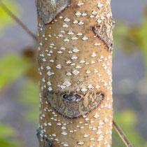 Rindenbild von einem zweijährigen, hellbraunen Trieb-Abschnitt mit großer Blattnarbe (Ule) und vielen Lentizellen. Foto: HK., Aufnahme-Datum: 18.10.2009,