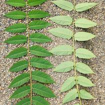 Blattvorderseite links und Blattrückseite rechts zweier unterschiedlicher ca. 80 cm langer Blätter, Foto:  HK., Aufnahme-Datum 04.06.2018
