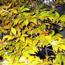 Zierendes Herbstlaub der seltenen Farnblättrigen Rotbuche, HK., 07.11.2008.