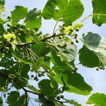 Detailaufnahme, Zweig mit grünem Fruchtbehang. Aufnahme-Datum 21.07.2016