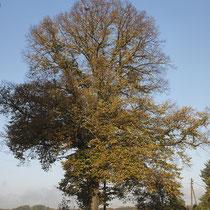 Kronen-Bild einer Winterlinde in Herbstfärbung, Foto H.Kuhlen, Aufnahme-Datum 24.10.2013