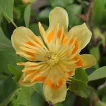 Draufsicht  in die Blüte mit den orangefarbenen Saftmalen, Foto HK.; Aufnahme-Datum: 11.05.2014