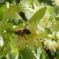 Schwebfliege bei der Nektar-Suche auf Blüten der Winter-Linde. Foto H.Kuhlen
