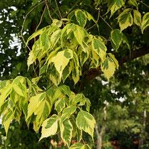 Älteres Zweigstück mit goldgelb panaschierten Blättern, Foto HK.; Aufnahme-Datum: 12.05.2018