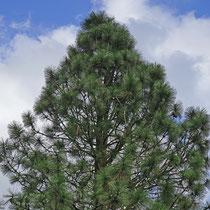 Baumspitze von Baum in Feld II, 26.03.2021