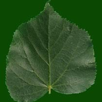 Blattoberseite, kahl, matt dunkelgrün, Foto H.Kuhlen, Aufnahmedatum 15.05.2016