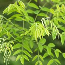 Frischer gelbgrüner Blattaustrieb, Foto HK.; Aufnahme-Datum: