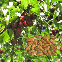 Kornelkirsche Früchte und Samen, Aufnahme-Datum: n.b.