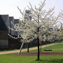 Blütenbäume am Innenhafen, Aufnahme-Datum: 12.02.2014