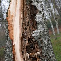 Stammbruch eines vorgeschädigten Baumes durch Windeinwirkung, Foto HK.; Aufnahme-Datum: 06.01.2018