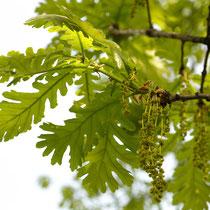 Blütenstand der Ungarischen Eiche, Aufnahme-Datum: 03.05.2006