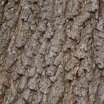 Rindenbild eines Feld-Ahorn, Acer campestre
