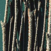 Rinde mit Harzdrüsen, Foto HK.; Aufnahme-Datum: unbekannt