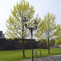 Endpunkt des Baum-Pfades mit blühenden Spitz-Ahornen, Aufnahme-Datum:24.04.2006