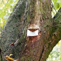 Eingewachsenes Baumschild im Kronenansatz, Foto HK., Aufnahme-Datum: 17.10.2017