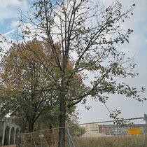 Durch Wurzelbeschädigungen absterbende Ungarische Eichen, Aufnahme-Datum: 19.10.2018