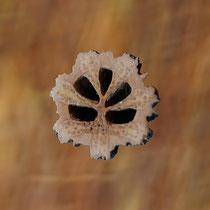 Querschnitt durch die Steinfrucht mit ausgelösten Samen, Die leeren Samenkammern zeigen eine Ähnlichkeit mit der Baumkrone, Foto HK., Aufnahme-Datum: 01.10.2017