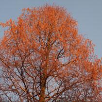 Blühender Kronenabschnitt bei tiefstehender Sonne, Foto HK.; Aufnahme-Datum: 11.01.2013