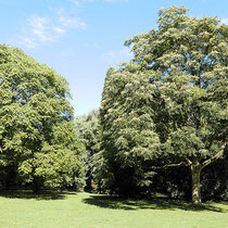 Habitus-Bild zweier Bäume, Foto: HK., Aufnahme-Datum: 25.09.2016