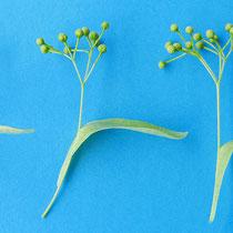 Trugdolden im Stadium der Vorblüte mit Hochblatt und zwischen 10 bis 14 Einzelblüten. Fotos H.Kuhlen