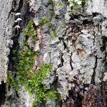 Pilze, Moose, Krusten-Flechten auf Rot-Buche, Fagus sylvatica