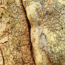 Totholz mit Krustenflechte Esskastanie, Castanea sativa