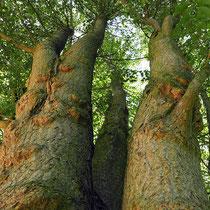 Mehrstämmiger Baum mit vielfacher Zwieselbildung, Foto HK.; Aufnahme-Datum: 27.08.2017