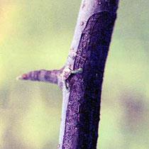 Aus der Haftscheibe austreibende erste Triebe mit der Krümmung zu dem besiedelten Zweig. Quelle: Nachrichten aus dem Garten, Seite 137