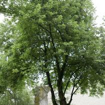 Skulptur vor dem Bezugs-Baum, einem dreistämmigen Silberahorn, Aufnahme-Datum: 14.08.2016