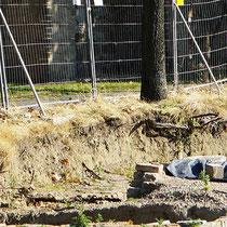 Grabungsbereich bis in den Wurzelraum der Ungarischen Eichen, deutlich erkennbar beschädigte Wurzeln, Aufnahme-Datum: 08.09.2016
