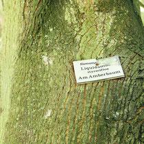 Falsche Beschilderung, Blut-Ahorn beschildert als Amerikanischer Amberbaum, Foto HK.; Aufnahme-Datum: 17.10.2017