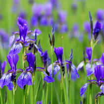 Sibirische Schwertlilie (Iris sibirica) - Foto: NABU/H. Werner