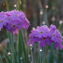 Mehlprimel (Primula farinosa) - Foto: NABU/H. Werner