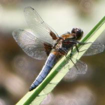 Plattbauch (Libellula depressa) - Foto: NABU/N. Schiwora
