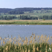 Die unter Schutz stehende Flachwasserzone bietet die benötigte Ruhe bei der Mauser - Foto: NABU/A. Hafen