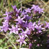 Blüte des Deutschen Enzians - Foto: NABU/C. Balthasar