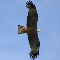 Schwarzmilane sind im Flug am leicht gegabelten Schwanz zu erkennen - Foto: NABU/T. Dove