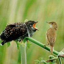 Ein junger Kuckuck wird Teichrohrsänger gefüttert - Foto: NABU/D. Kjaer