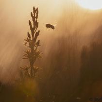 Moorlilie