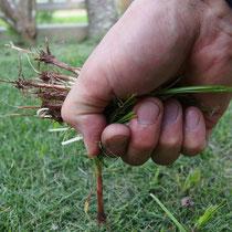 初めのころは一本一本雑草を抜き取ってましたが、とても追いつきません。