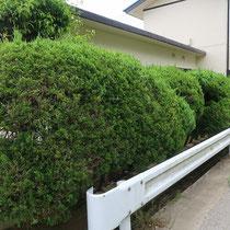 施工前、きれいに成長したカイズカイブキの生垣が、道路のガードレールまで伸びてきています。