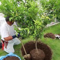 移植する樹木は根付きが良くなるように、なるべく根鉢を崩さず掘り取ります。